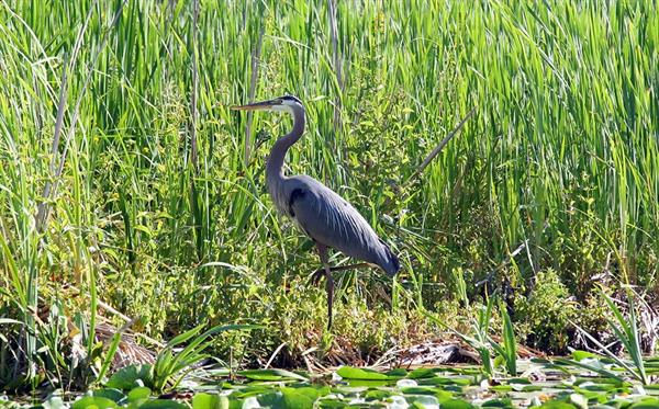 Image of blue heron standing in Red Gold wetlands